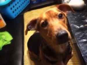 Chompsky, beagle dog adopt rescue