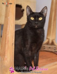 black cat for adoption