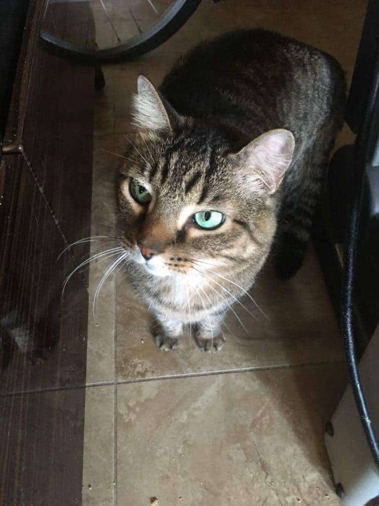 cat, tabby, male, adopt